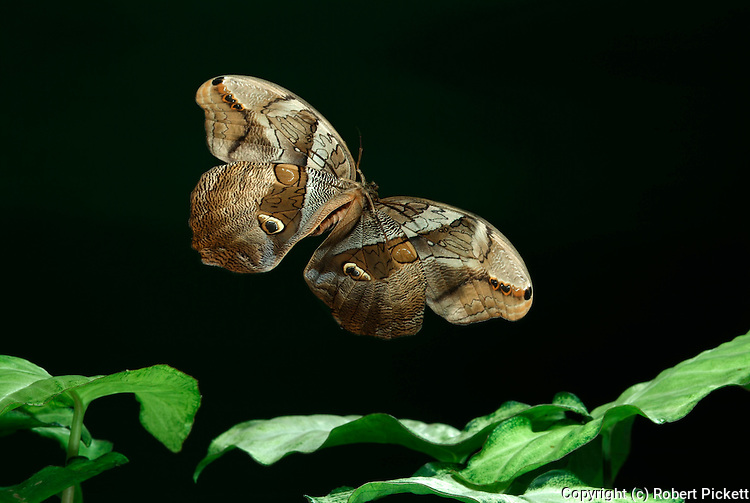 Owl Butterfly, Eryphanis polyxena, Bamboo Butterfly, in flight, flying over leaves, high speed photographic technique.South America....