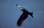 Black Kite, Milvus migrans, in flight, Tanzania, flying against blue sky