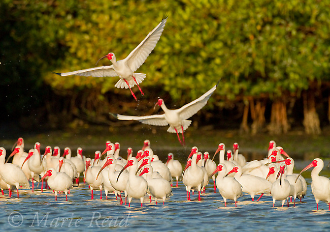 Flock of White Ibis (Eudocimus albus) in breeding plumage, gathering at water's edge of the mangrove-covered island that forms their rookery, two taking flight,Tampa Bay, Florida, USA
