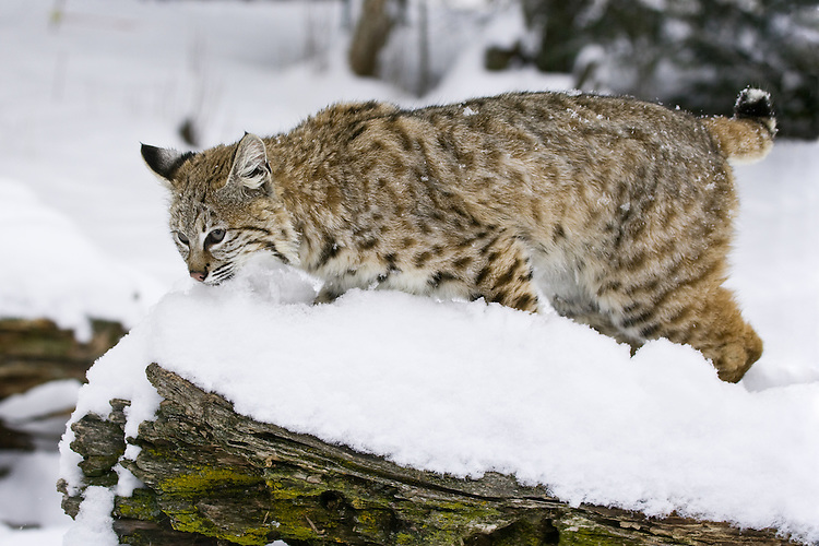 Young Bobcat walking along a snow covered log - CA