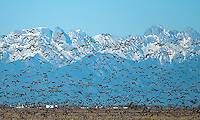 March 11, 2016 - Monte Vista, Colorado, U.S. - Sandhill Cranes take off in unison during the late afternoon and against the backdrop of the Sangre de Cristo's snowy peaks in southern Colorado's Monte Vista National Wildlife Refuge.<br /> <br /> Each year more than 20,000 Sandhill Cranes migrate through the wetlands of the San Luis Valley's Monte Vista National Wildlife Refuge, Monte Vista, Colorado.  The Rocky Mountain population of the Greater Sand Hill Cranes spends more time in the San Luis Valley than at either of their wintering or breeding grounds.  The peak springtime migration is mid-March.