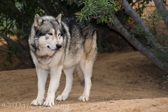 694920026 a captive male gray wolf dakota canis lupus at the wildlife waystation wildlife recovery and care facility in southern california