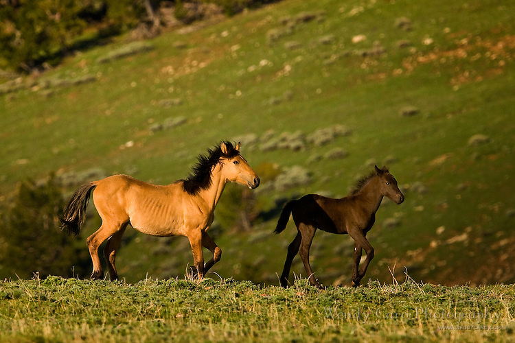 Mare racing to catch up to her foal, Pryor Mountains, Wyoming