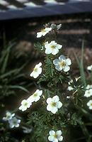Potentilla fruticosa 'Abbotswood' in white flowers
