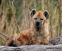 0213-08mm  Spotted Hyena, Laughing Hyena, Crocuta crocuta © David Kuhn/Dwight Kuhn Photography