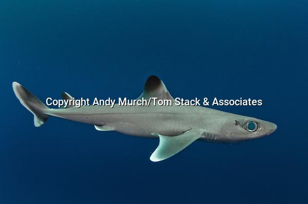 Cuban Dogfish, Squalus cubensis, Exuma Sound, Bahamas, Atlantic Ocean.