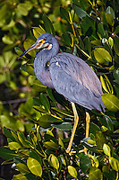 Tricolored Heron in red mangrove, J.N. Ding Darling National Wildlife Refuge, Sanibel Island, Florida.<br /> Egretta tricolor