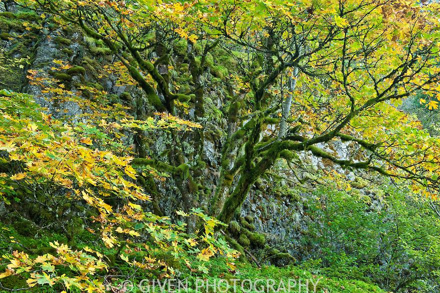 Bigleaf Maple in autumn, Columbia Gorge, Oregon