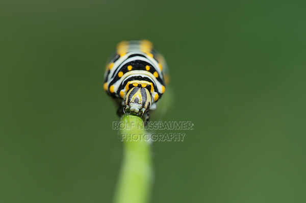 Black Swallowtail (Papilio polyxenes), caterpillar weaving silk to attach chrysalis, Hill Country, Texas, USA