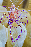 spotted cleaner shrimp, Periclimenes yucatanicus, on anemone, Bonaire, Netherland Antilles, Caribbean, Atlantic