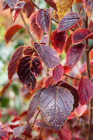 Viburnum dentatum fall foliage Southern Arrowwood shrub in autumn colors