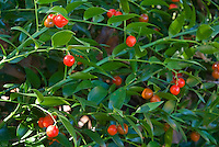 Danae racemosa in berries in autumn, closeup of Alexandrian Laurel, aka Poet's Laurel, fantastic dry shade garden plant in red fruits