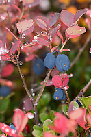 Rauschbeere, Rausch-Beere, Moorbeere, Trunkelbeere, Früchte, Herbst, Herbstfarben, Vaccinium uliginosum, Bog Bilberry, Bog Wortleberry, bog blueberry, northern bilberry, western blueberry, La myrtille des marais
