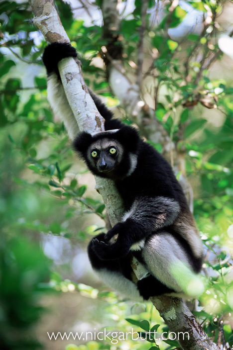 Adult Indri (Indri indri) from forests near Zahamena National Park, eastern Madagascar.