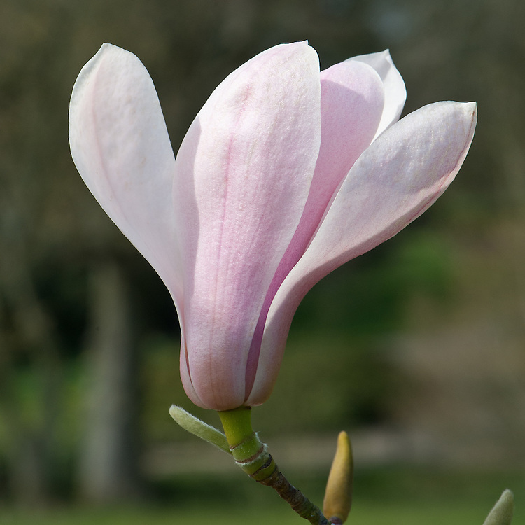 Magnolia sprengeri var. diva, late March. From western China.