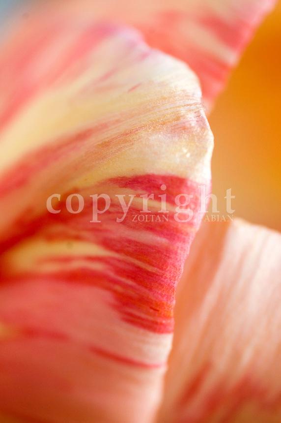 Detail of a tulip petal