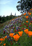 California poppies and lupine near Yorkville in Mendocino County, CA..CD scan from 35mm slide film.  © John Birchard