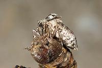 Kleiner Frostspanner, Weibchen, flügellos, Operophtera brumata, winter moth, female, La Phalène brumeuse, Arpenteuse tardive, Spanner, Geometridae, looper, loopers, geometer moths, geometer moth