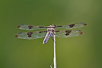 389320001 a wild male twelve-spotted skimmer libellula pulchella perches on a dead stick in pintail slough on lake havasu national wildlife refuge arizona