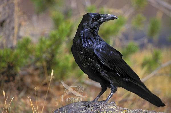 Common Raven. Fall. North America. (Corvus corax).