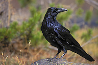 Common Raven. Fall. North America. (Corvus corax).