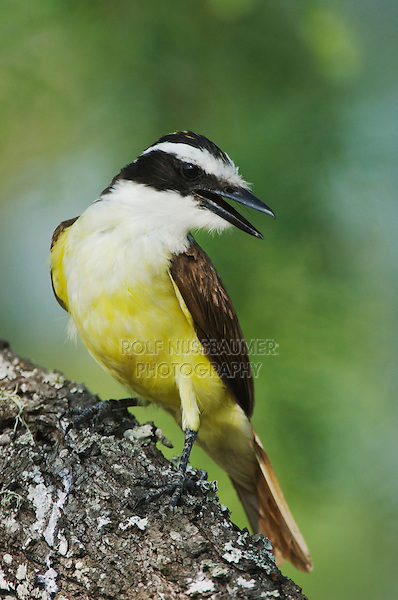Great Kiskadee, Pitangus sulphuratus, adult, Willacy County, Rio Grande Valley, Texas, USA