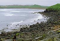 Village of St. Paul, Northern Fur Seals on the shores of St. Paul Island, Pribilof Islands, Alaska.