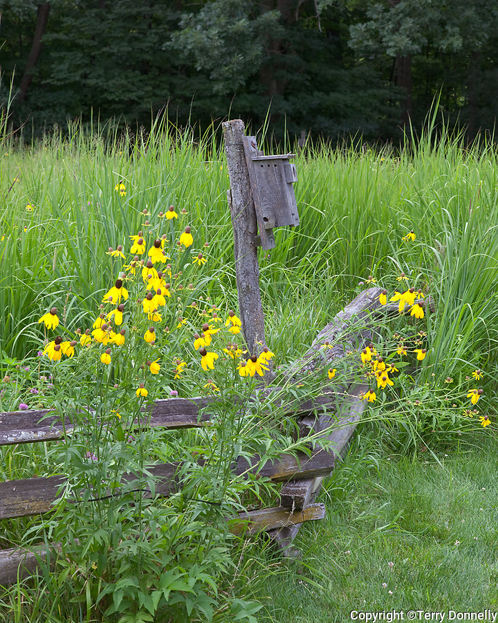 Bureau, County, IL<br /> Prairie coneflowers (Ratibida pinnata) and native prairie grasses along a weathered split rail fence