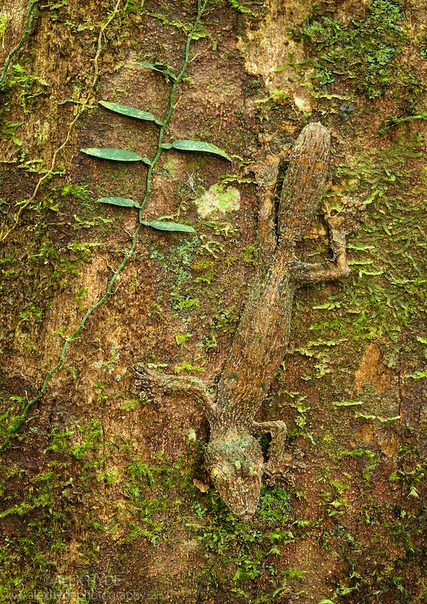 Leaf-tailed gecko {Uroplatus sikorae} camouflaged on mossy tree trunk in rainforest. Masoala Peninsula National Park, north east Madagascar.