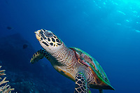 Hawksbill turtle, Eretmochelys imbricata, foraging over the reef, North point, The Similan islands, Andaman sea, Indian Ocean, Thailand, Asia
