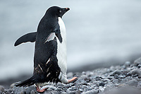 Adelie Penguin (Pygoscelis adeliae) along the Antarctic coast