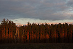 Chernobyl'ska Puscha - Chernobyl's Forest in the sunset