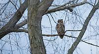 Great Horned Owl, Burlington County, New Jersey