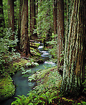 a stream surrounding by majestic redwoods in Montgomery woods, Northern California