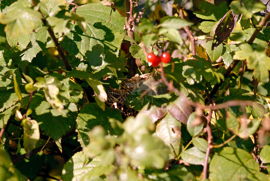 Hazelmuis (Muscardinus avellanarius) nest