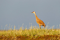 "Adult ""Lesser"" Sandhill Crane (Grus canadensis canadensis) on its breeding grounds in Russia. This popualtion of Sandhill Cranes migrates to wintering areas in south and west Texas, New Mexico, and central and north Mexico. They concentrate briefly at many stopover areas during spring and fall migration. Many stop for up to 6 weeks in spring in the North Platte and Platte River valleys of Nebraska. Chukotka, Russia. July."