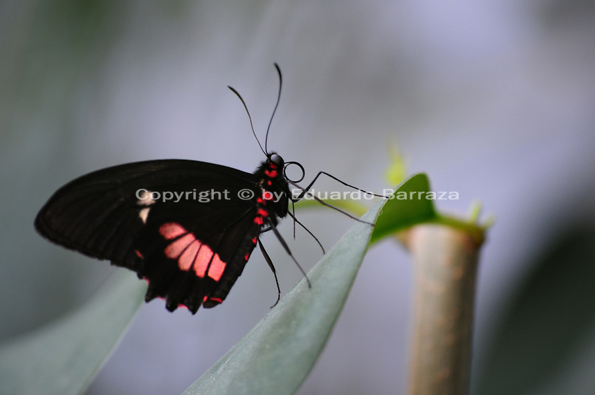 Scottsdale, Arizona. A Cattleheart butterfly sits on the leaf of a plant. The United States Fish and Wildlife Service is contributing $20 million to help save the disappearing Monarch butterflies. The insect may be on its way to the endangered species list. In Arizona a sanctuary takes care of thousands of butterflies. Photo by Eduardo Barraza © 2015