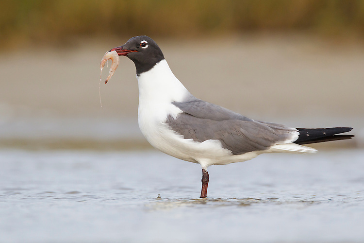 Laughing Gull - Larus atricilla - summer adult