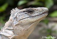 0626-1106  Close up of Head, Black Spiny-tailed Iguana (Black Iguana, Black Ctenosaur), On Half-moon Caye in Belize, Ctenosaura similis  © David Kuhn/Dwight Kuhn Photography
