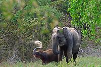 Sri Lankan elephant (Elephas maximus maximus) is one of three recognized subspecies of the Asian elephant, and native to Sri Lanka