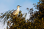 Black-Crowned Night-Heron in a tree, Upper Newport Bay, CA.