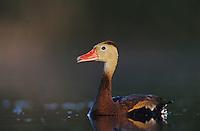 Black-bellied Whistling-Duck, Dendrocygna autumnalis, adult calling, Welder Wildlife Refuge, Sinton, Texas, USA, June 2005