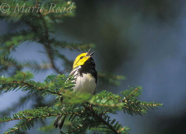 Black-throated Green Warbler (Dendroica virens) male singing from a hemlock branch, Dryden NY, USA<br /> Slide # B161-2016