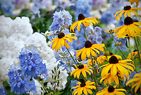 Goldstrum' Rudbeckia and blue Delphinium 'Summer Skies. Al's Garden. Woodburn, Oregon.