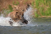 Brown bear lunge feeding for red salmon in the Brooks River, Katmai National Park, Alaska