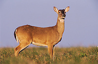 White-tailed Deer, Odocoileus virginianus, buck, Welder Wildlife Refuge, Sinton, Texas, USA, March 2005
