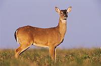 White-tailed Deer, Odocoileus virginianus, buck, Welder Wildlife Refuge, Sinton, Texas, USA, March 2005
