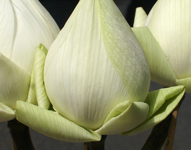 Macro of three temple lotus, with traditionally folded petals sprinkled with water drops, that are offered in prayer at temples throughout Thailand.