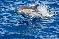 striped dolphin, Stenella coeruleoalba, jumping, Pelagos Sanctuary for Mediterranean Marine Mammals, Italy, Ligurian Sea, Mediterranean Sea, Atlantic Ocean