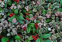 Sedum (Sedum cauticolum) and Bearberry (Arctostaphylos uva-ursi) #5153. Virginia.